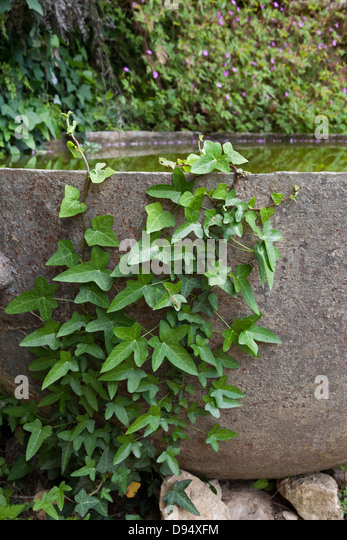 Ivy (Hedera helix) Climbing up a Water Trough - Stock Image
