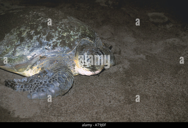 Costa Rica Tortuguero green turtle returning to caribbean after nesting covered in dark sand - Stock Image