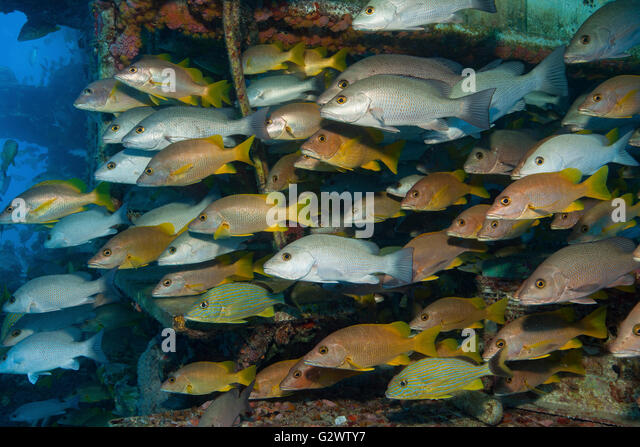 Schooling grunts and snapper seek the protection of the Aquarius Habitat, an underwater laboratory residing on Conch - Stock-Bilder