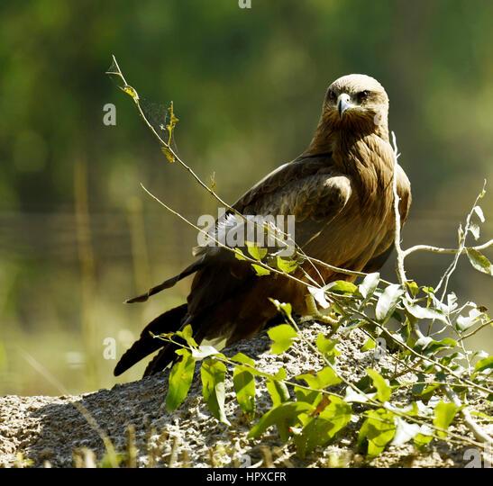 Kite bird - Stock Image