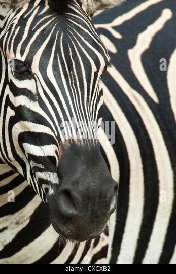 Burchell's (plains) zebra (Equus burchelli), Mhkuze Game Reserve, KwaZulu Natal, South Africa, Africa - Stock Image