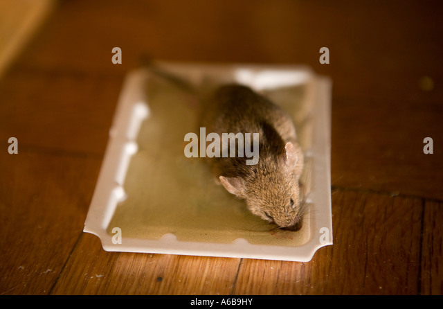 Glue Trap Stock Photos Amp Glue Trap Stock Images Alamy