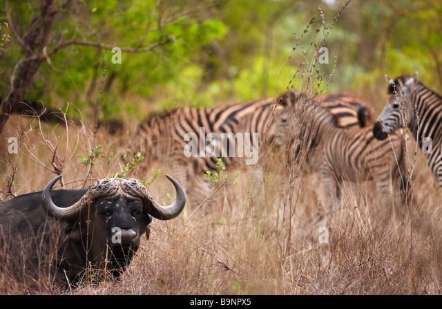 African buffalo and a herd of zebra, Kruger National Park, South Africa - Stock Image