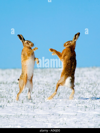 Brown Hare Lepus europaeus Boxing in snow with blue sky therfield hertfordshire - Stock-Bilder