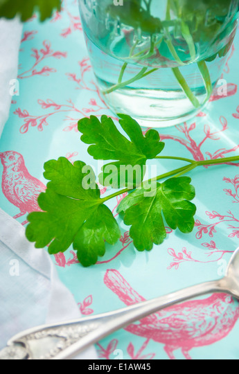 A Close Up of a Fresh Parsley Stem - Stock Image