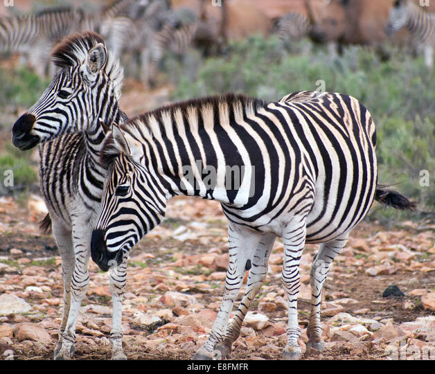 Zebra mare with zebra foal, Eastern Cape, South Africa - Stock Image