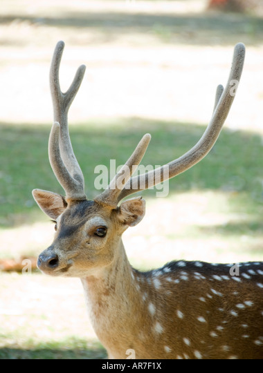 Spotted Deer in India - Stock Image