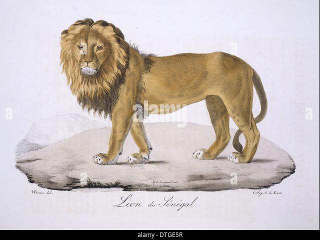 Panthera leo senegalensis, West African Lion - Stock Image