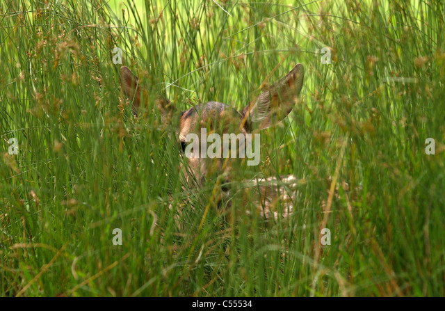 Young Red Deer, (Cervus elaphus) hiding in the grass - Stock Image