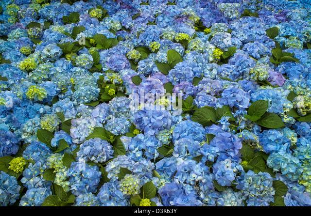 Hydrandea, Bavarian blue. - Stock-Bilder
