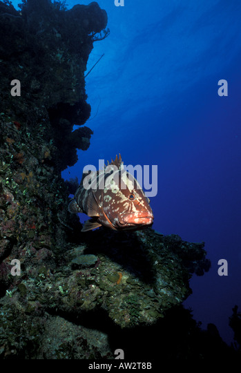Underwater nassau grouper portrait swimming toward camera from coral reef - Stock Image