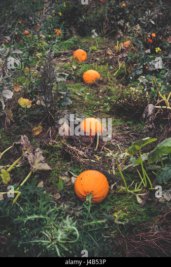 Pumpkins on a row in a garden in autumn - Stock Image