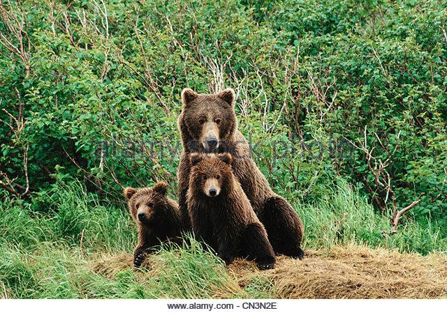 Brown bear and cubs, Alaska - Stock Image