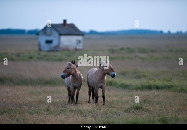 Two Przewalski horses (Equus ferus przewalskii) Hortobagy National Park, Hungary, May 2009 - Stock Image