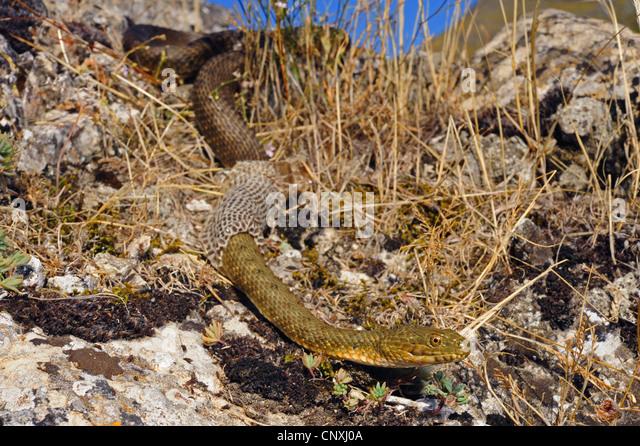 dice snake (Natrix tessellata), skinning individual, Montenegro, Lake Skutari - Stock Image