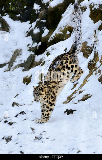 Snow Leopard (Panthera uncia), juvenile, jumping from snowy rock, captive, Switzerland - Stock Image