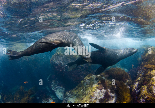 Endemic Guadalupe Fur Seals, Arctocephalus townsendi, photographed in the shallows off Guadalupe Island, Mexico. - Stock Image