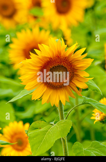 NEW BRUNSWICK, Field of Sunflowers along the banks of the Miramichi River near Doaktown. - Stock Image