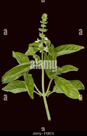 basilikum ocimum basilicum heilpflanze stock photos basilikum ocimum basilicum heilpflanze. Black Bedroom Furniture Sets. Home Design Ideas
