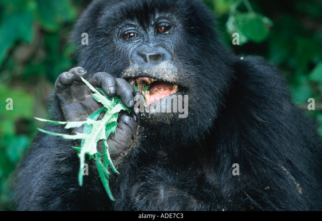 Mountain Gorilla Gorilla gorilla beringei Female eating stinging nettle Distribution Rwanda Uganda DRC P N des Volcans - Stock Image