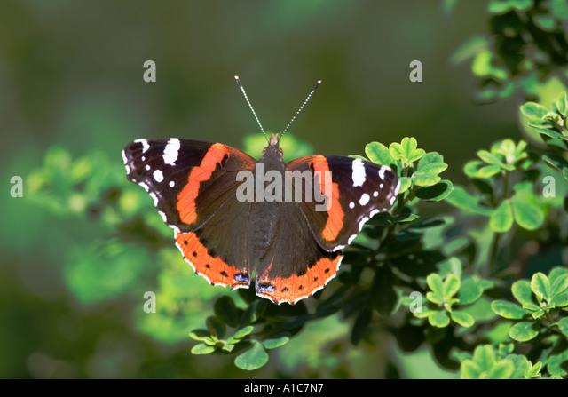 Red Admiral Butterfly settled on an bush. - Stock Image