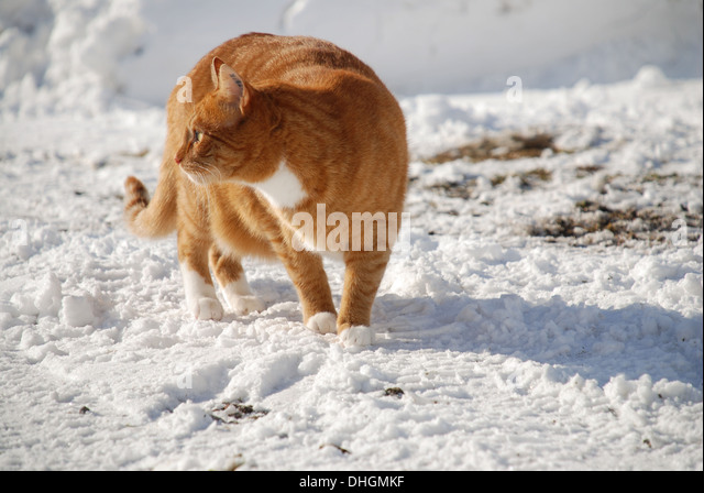 Cat walking on the snow - Stock Image