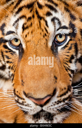 Portrait, Indochinese tiger or Corbett's tiger (Panthera tigris corbetti), Thailand - Stock Image