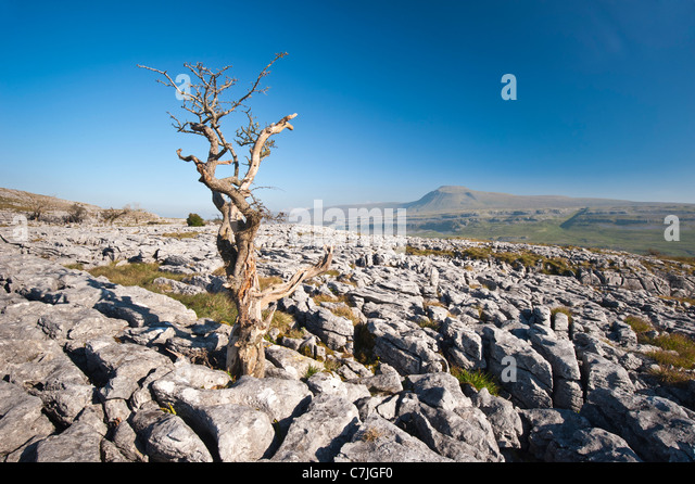 Limestone Pavement and lone tree with Ingleborough in the distance, Yorkshire Dales, England, UK - Stock Image