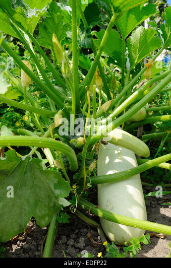 bush of squash with different stage of vegetable growing - Stock Image