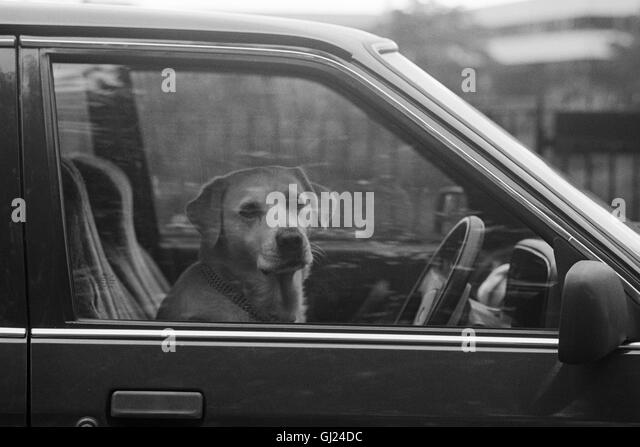 Dog Driving Car. Glasgow 1992 - Stock Image