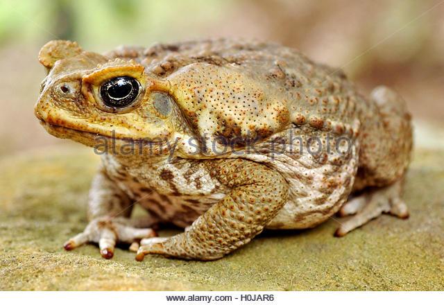 H Toads Hotel Cane Toads Australia S...