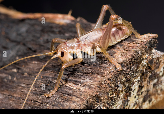 Female raspy cricket nymph of the family Gryllacrididae - Stock Image