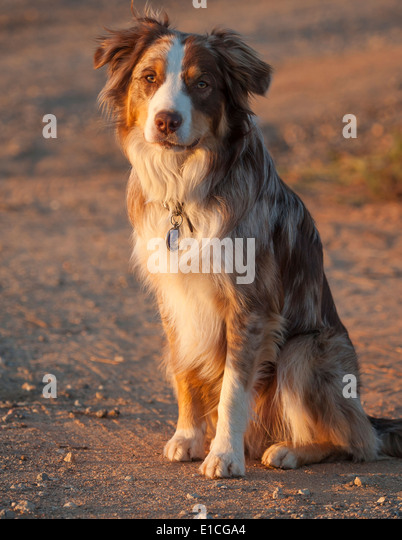 Australian Cattle Dog Stock Photos & Australian Cattle Dog ... Border Collie Australian Cattle Dog Lab Mix