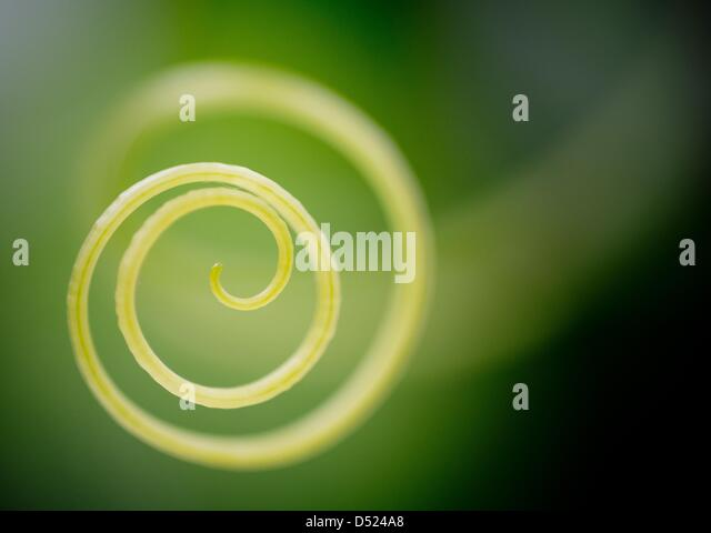 A so-called grasper of a cucumber plant is pictured in a greenhouse of the Fontana Gartenbau Limited in Manschnow, - Stock Image