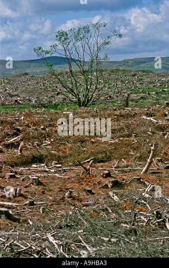 Badly managed deforestation of Scottish pine forest near Edinburgh Scotland - Stock Image