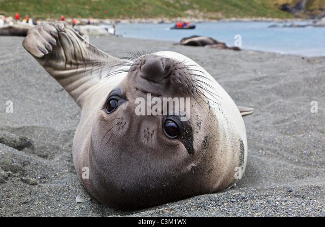 South Atlantic Ocean, United Kingdom, British Overseas Territories, South Georgia, Southern elephant seal - Stock Image