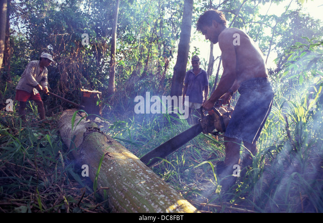 Illegal logging, cutting of tree with chainsaw, Amazon rain forest deforestation. - Stock Image