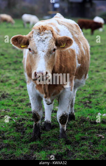 Cattle on a pasture in winter, Ruhr Area, Mülheim an der Ruhr, Germany - Stock Image