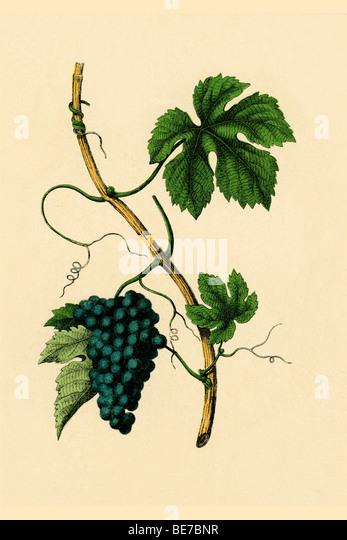 Wine, historical illustration - Stock-Bilder