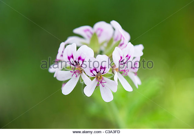 Pelargonium graveolens. Scented Geranium or Old Fashioned Rose Geranium flowers - Stock Image