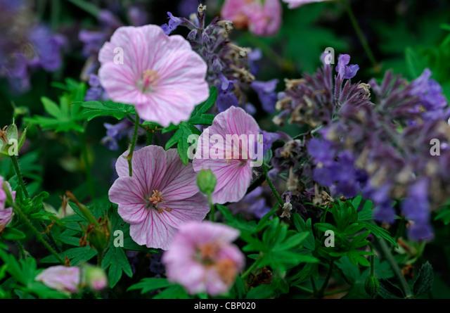 geranium sanguineum stock photos geranium sanguineum. Black Bedroom Furniture Sets. Home Design Ideas