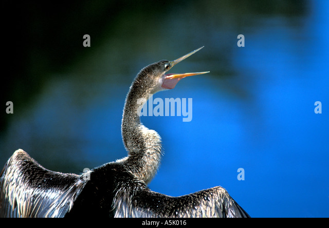 Florida Everglades National Park anhinga drying its wings - Stock Image