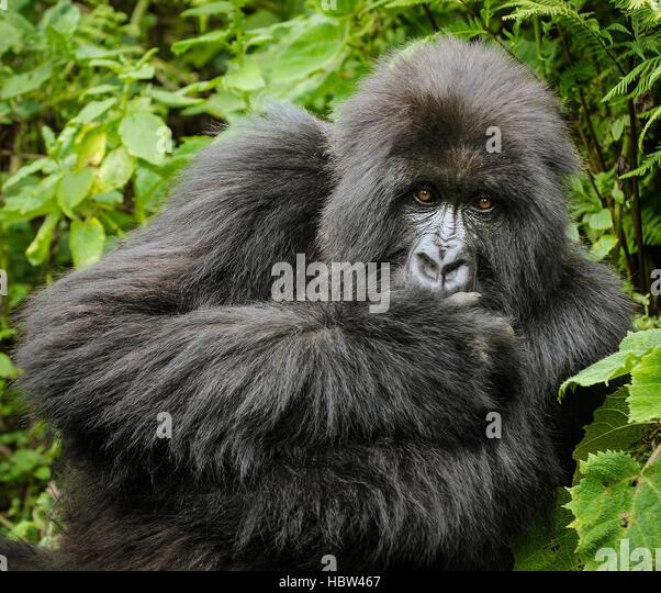 Mountain Gorilla (Gorilla beringei beringei) female, staring - Stock Image