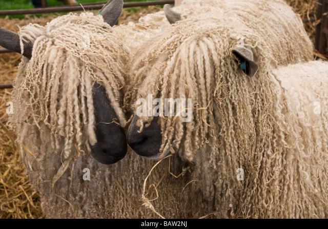 Two Wensleydale sheep. - Stock Image