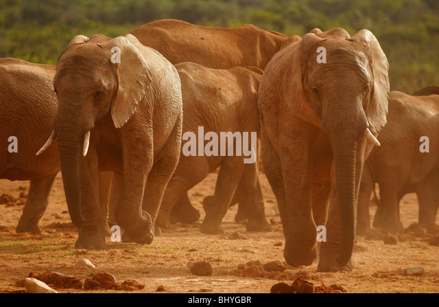 Elephants in the dust at Ado Elephant Park in South Africa - Stock Image