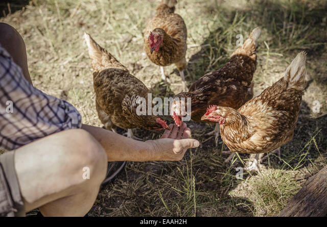 Man feeding four chickens. - Stock Image