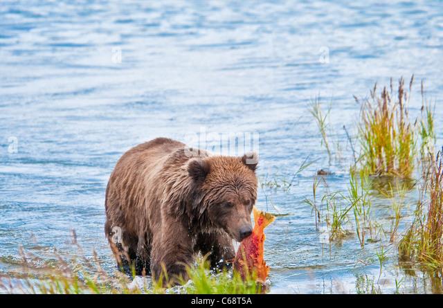 Grizzly Bear cub carrying salmon, Ursus arctos horriblis, Brooks River, Katmai National Park, Alaska, USA - Stock Image