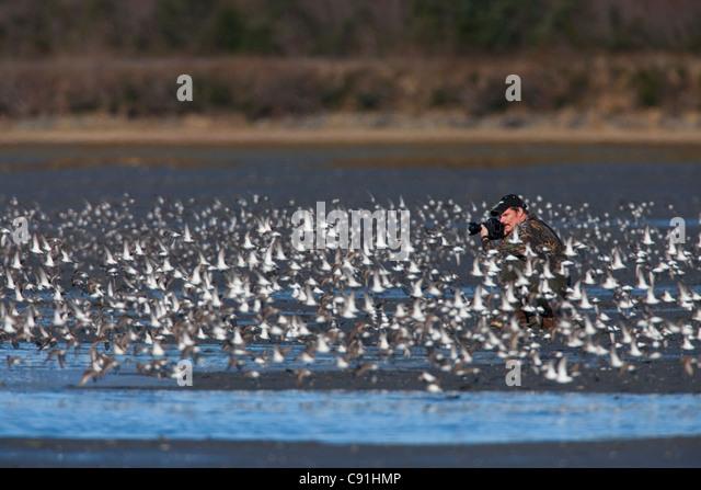 Photographer surrounded by a shorebird flock in flight at Hartney Bay, Copper River Delta, near Cordova, Alaska, - Stock Image
