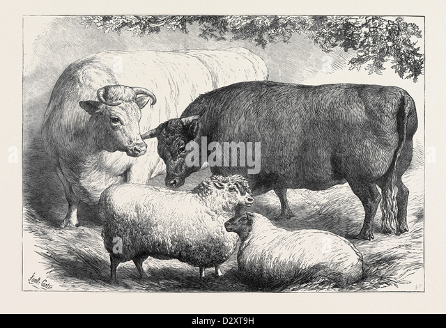 PRIZE CATTLE AND SHEEP AT THE SMITHFIELD CLUB SHOW 1871 - Stock Image