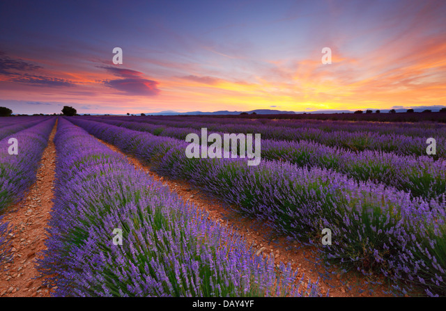 Lavender field sunset landscape - Stock Image